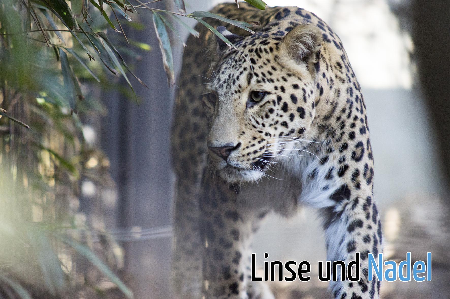 Leopard_02